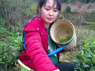 传扬中国文化茶叶小辉哥